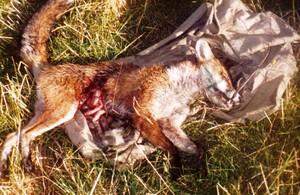 Poor Fox...