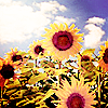 Daydreaming photo with a blue eyed african daisy, a common sunflower, and a sunflower titled Surrounded by beauty