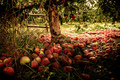 Apple Orchard - autumn photo