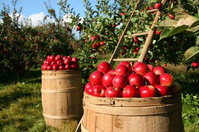 Autumn 사과, 애플 Orchard