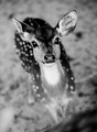 Baby Deer  - animals photo