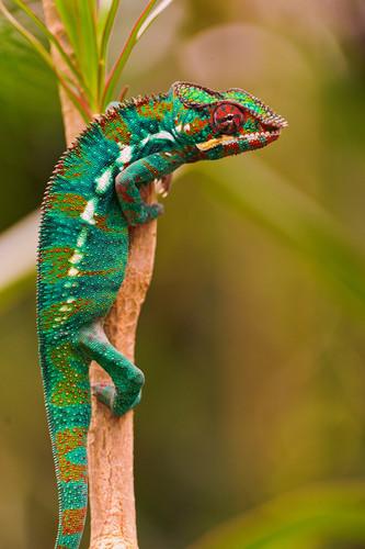 Animals achtergrond titled Chameleon