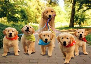 Cute Golden Retrievers