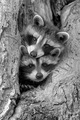 Racoons  - animals photo