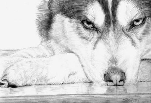 Siberian Huskies wallpaper entitled Siberian Husky Drawing