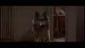 Wolf - Fright Night - wolves photo