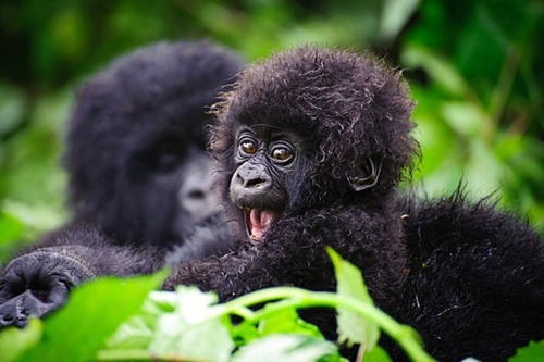 binatang wallpaper possibly containing a mountain gorilla entitled baby animal