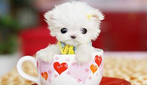 cute perrito, cachorro