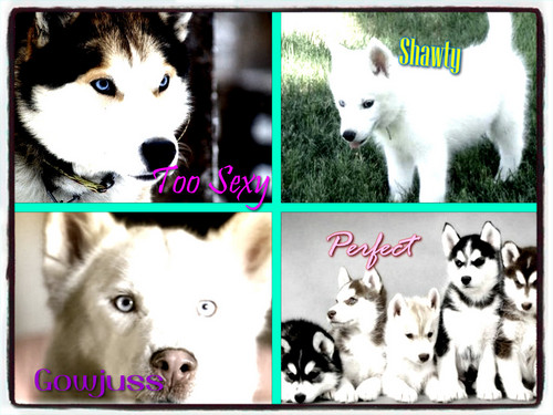 Siberian Huskies wallpaper titled huskies
