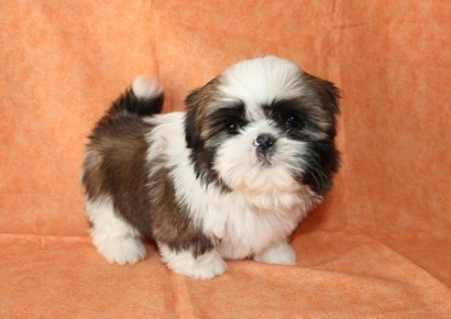Shih Tzu Images Bilbo S Baby Pictures Wallpaper And Background