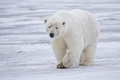 Cute Polar Bear! ♡ - polar-bears photo