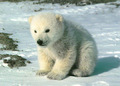 Cute Polar Bear! ♡