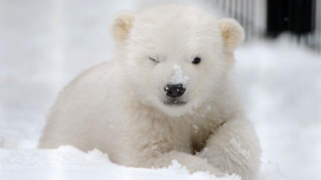 Cute Polar Bear! ♡