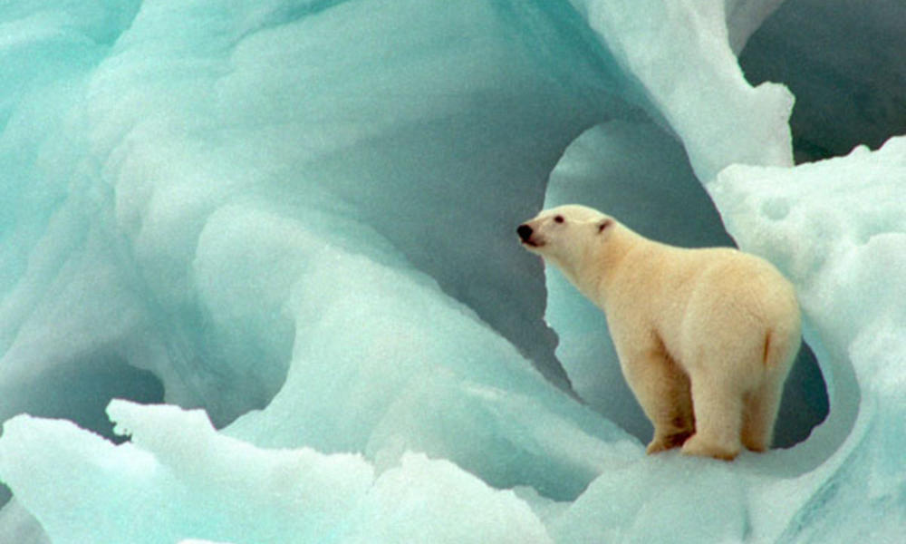 Polar Bears Images Cute Polar Bear Hd Wallpaper And Background