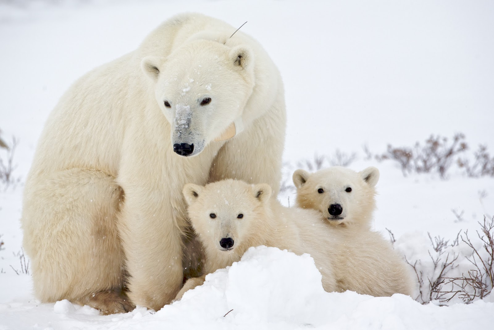 Polar Bears Images Cute Polar Bear! ♡ HD Wallpaper And