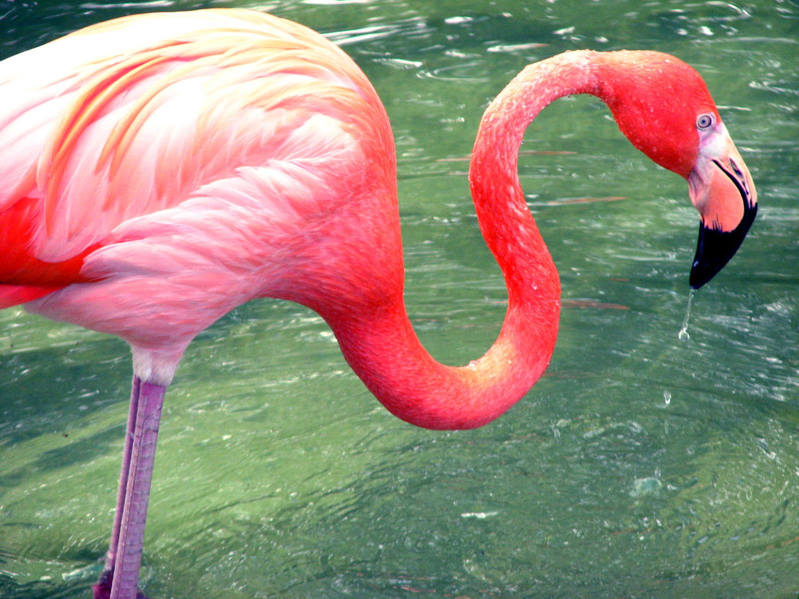 flamingos images flamingo hd wallpaper and background