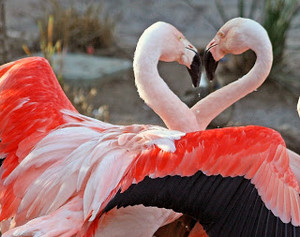 flamant, flamant rose ♡