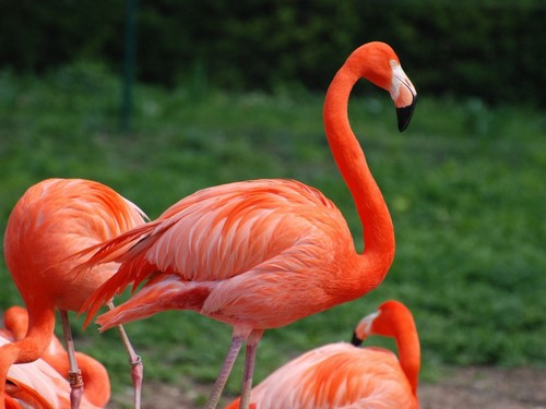 Flamingos वॉलपेपर probably containing a मराल, फ्लेमिंगो called मराल, फ्लेमिंगो ♡