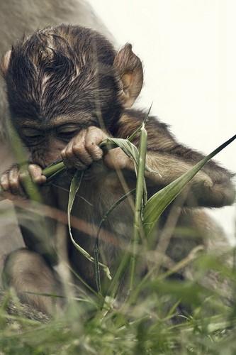जानवर वॉलपेपर entitled Monkey
