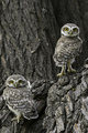 Owls  - animals photo