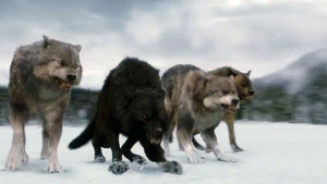 Twilight Saga Wolves