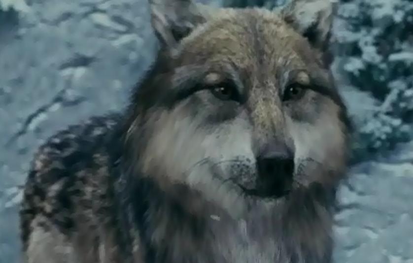 The twilight saga vires wolves twilight saga wolves