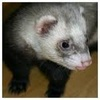 Ferrets picha possibly containing a ferret, chororo-kaya and a polecat called ferrets