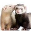 Ferrets picha with a ferret, chororo-kaya and a polecat entitled ferrets