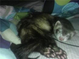 Ferrets karatasi la kupamba ukuta with a ferret, a polecat, and a weasel called ferrets
