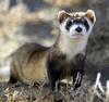Ferrets picha entitled ferrets