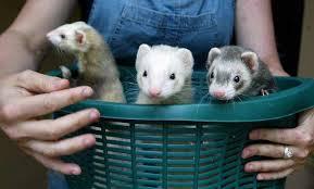 Ferrets karatasi la kupamba ukuta with a ferret, chororo-kaya entitled ferrets