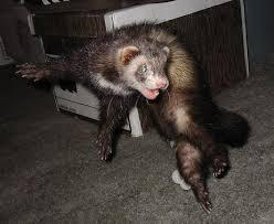 Ferrets karatasi la kupamba ukuta containing a ferret, chororo-kaya entitled ferrets