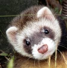Ferrets karatasi la kupamba ukuta containing a ferret, chororo-kaya called ferrets