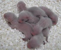 Ferrets karatasi la kupamba ukuta probably containing a common opossum, an opossum, and a brown panya called ferrtets