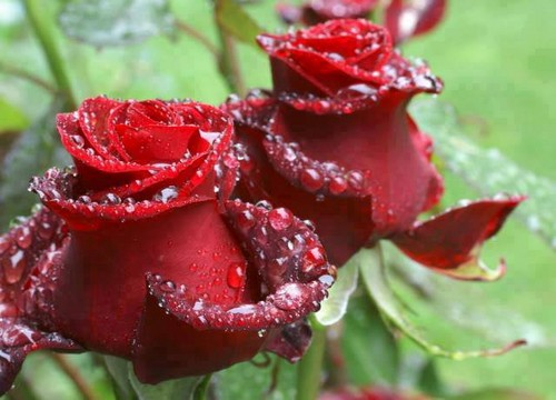 rained-red-roses