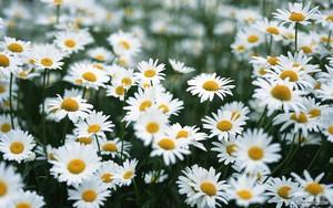 گلبہار, گل داؤدی