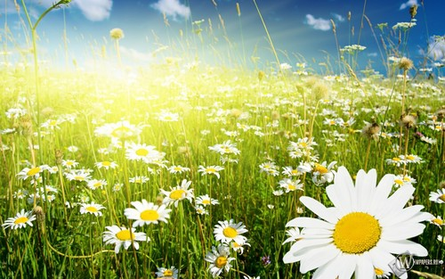 Random wallpaper with a common daisy, a daisy, and a blue eyed african daisy called Daisy