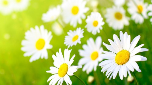 Random wallpaper containing a common daisy, a daisy, and a blue eyed african daisy called Daisy