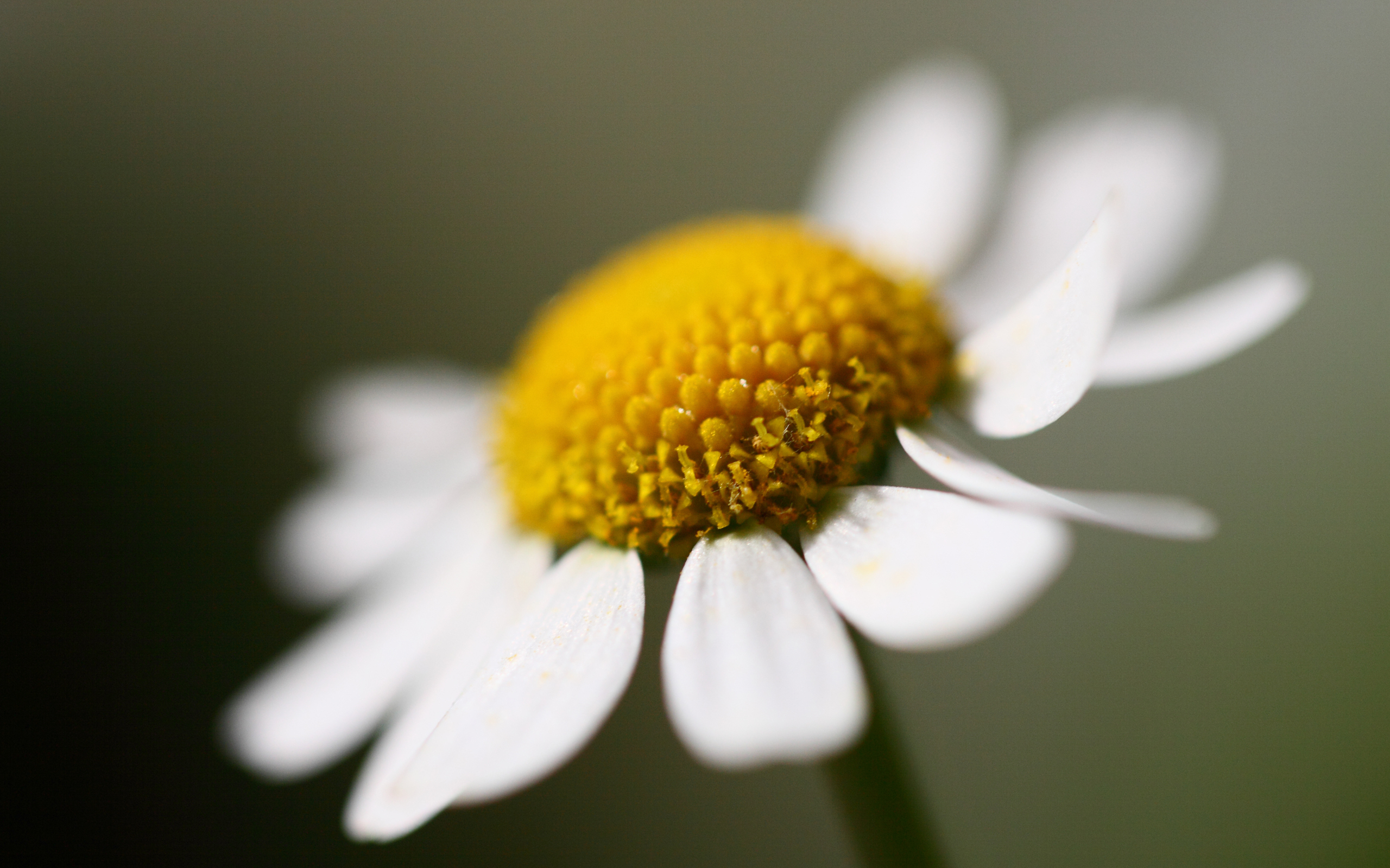 madeliefje, daisy
