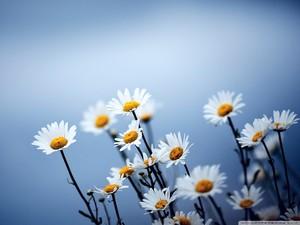 giống cúc, daisy