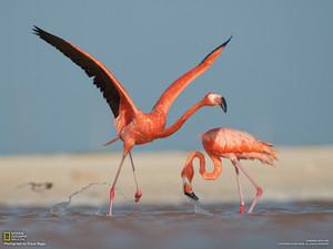 fenicottero, flamingo