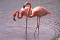 flamenco, flamingo