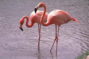 flamenco, flamingo