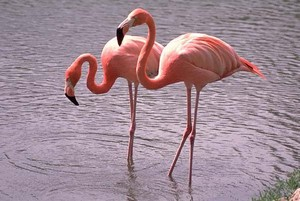 chim hồng hạc, hồng hạc