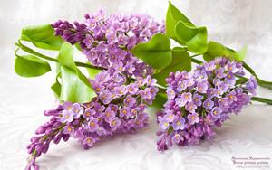 紫丁香, 丁香