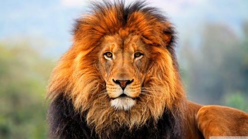 walang tiyak na layunin wolpeyper possibly with a lion entitled Lion