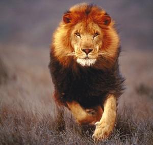Lions ♡