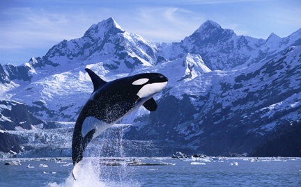 Orca the killer whale images orca wallpaper and background orca the killer whale wallpaper probably with a killer whale entitled orca altavistaventures Images