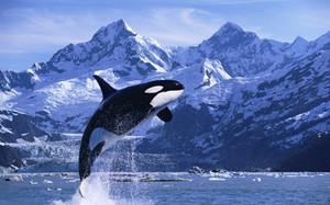 Orca ♡