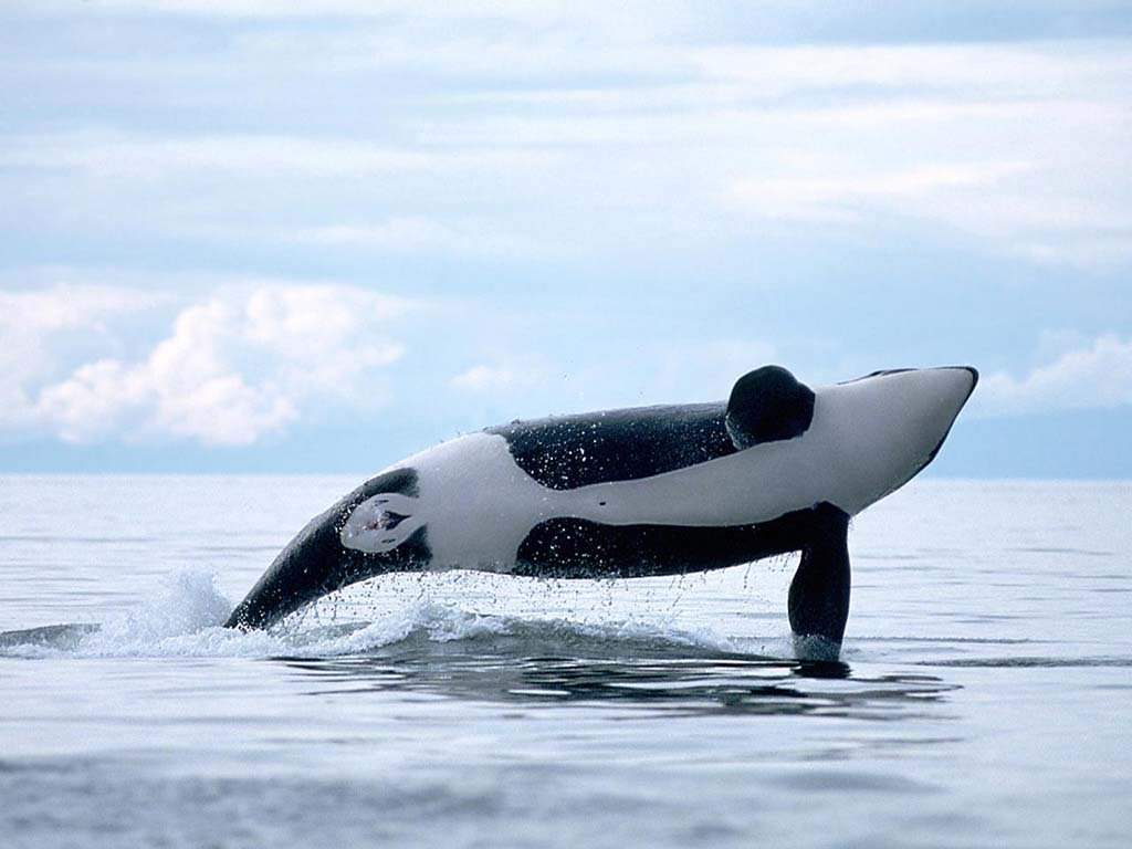 Orca whales images Orca ♡ HD wallpaper and background ...